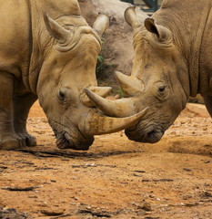 Two Rhino Locking Horns Close to the Ground