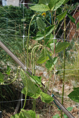 Yardlong Beans on Vine