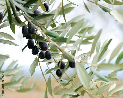 Foto op Plexiglas Olijfboom olive branch