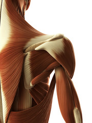 3d rendered illustration of female shoulder muscle
