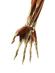 3d rendered illustration of the muscles of the hand