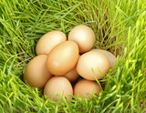 Chicken eggs between green wheat