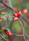 red rose hips on bush, autumn, selective focus