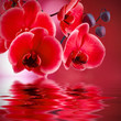 Obrazy na płótnie, fototapety, zdjęcia, fotoobrazy drukowane : orquídeas rojas con fondo y agua