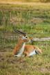������, ������: Impala in savanna of Botswana