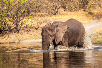 African elephant in the river