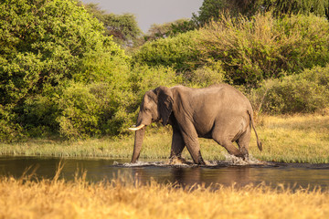 African Elephant walks in to the river