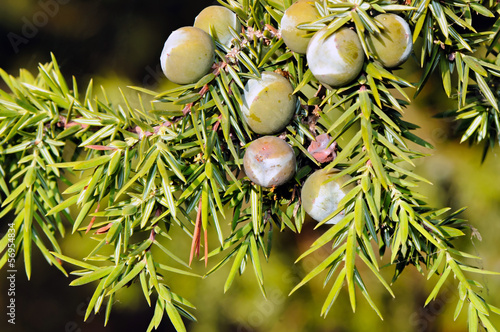 Foliage and berries of common juniper (Juniperus communis)