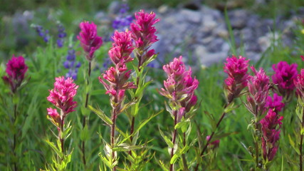 Field full of magenta paintbrush at Mount Rainier