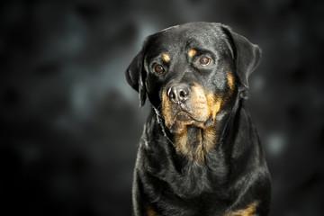 a rottweiler, a friendly big dog