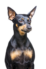 little dog with big ears on white background