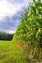 Krawędź pola kukurydzy