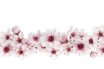 Cherry blossoms border