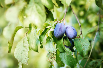 blue ripe plum in home orchard