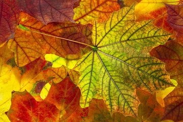 autumn foliage - background