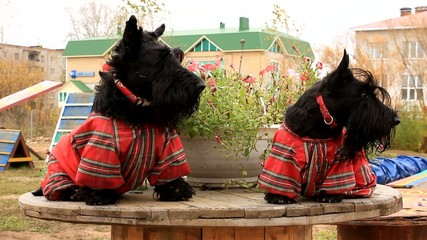two Scottish Terrier in overalls