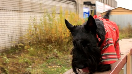 Scottish Terrier dog has been on a training platform