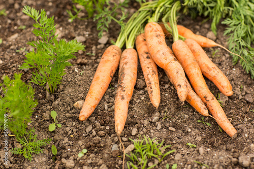 Some carrots lying on the ground