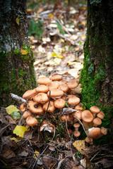 agaric mushrooms