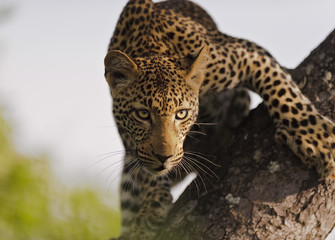 Leopard female