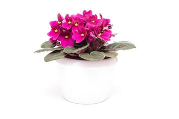 Usambara-Veilchen mit lila Blüten