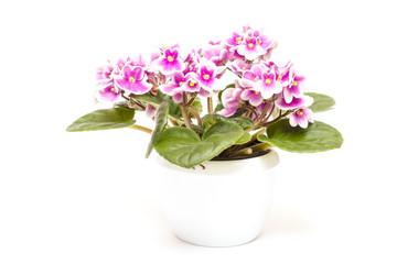 Usambaraveilchen mit Blüten in zwei Farben