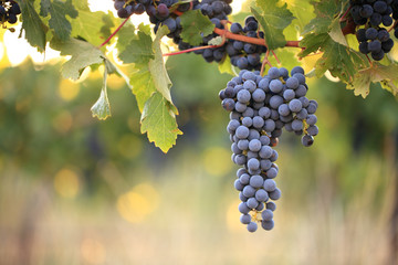 Bunch of ripe wine grapes on vine