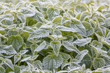 White frost on the leaves of nettles