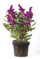 Pianta con fiori viola senza vaso