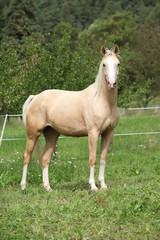 Beautiful palomino horse standing on pasturage