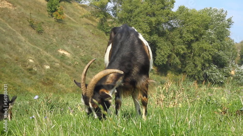 Goats pasture on a green grass