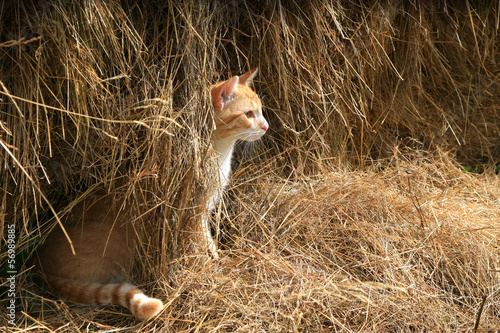 Warrantable, ginger cat hunts mice in the hay.
