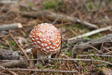 mushroom growing in coniferous forest, (Amanita muscaria)