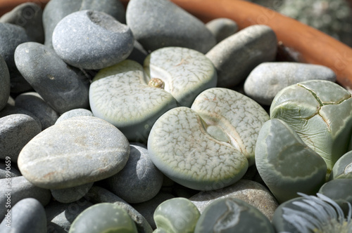 canvas print picture Lebende Steine, Lithops