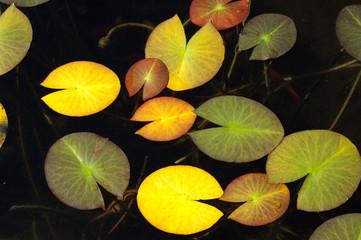 Seerosenblaetter, Herbst,