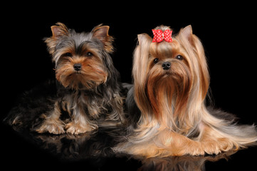 Two Yorkshire Terriers on black