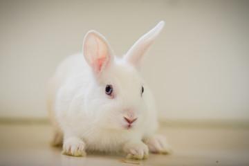 Weißes Kaninchen mit blauen Augen