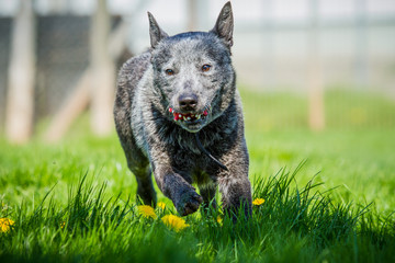 Australian Cattle Dog  in Bewegung
