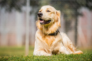 Junger Golden Retriever