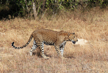 Lankesian Leopard Walking in Grass, Yala, Sri Lanka