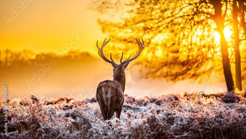 Fototapety, obrazy : Red deer in the morning sun