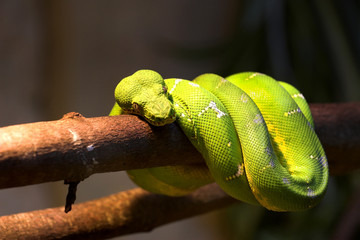 Green Python (Morelia viridis) on a tree branch