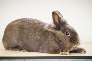 Kaninchen liegt flach