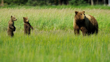 Young Brown Bear cubs inquisitive of their surroundings