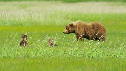 Young Brown Bear cubs relaxing guarded by adult female Wilderness grasslands