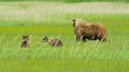 Young Brown Bear cubs relaxing guarded by adult female, Alaska, USA