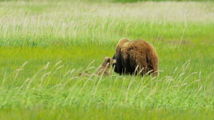 Young Brown Bear cubs nr adult female summer Wilderness, Alaska, USA