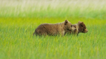 Adult female and young Brown Bear cubs on Wilderness grasslands, Alaska, USA