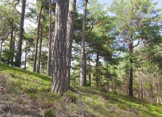 Böda backar, nature reserve in Sweden, natural pine forest