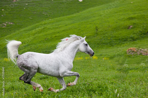 Papiers peints Chevaux Gray Arab horse gallops on a green meadow